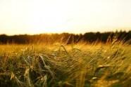 我国秋粮收购将全面启动 产量价格预计双增长