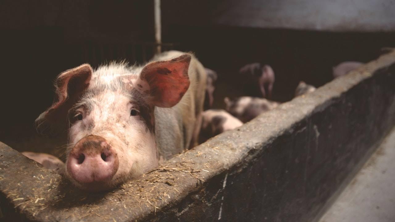 生猪价格行情狂涨:美国进口创纪录,2020年也不会太差!