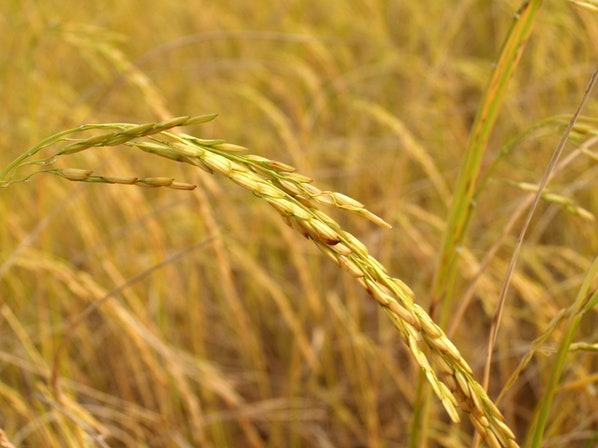 """解读中国粮食丰收""""密码""""——写在世界粮食日到来之际"""