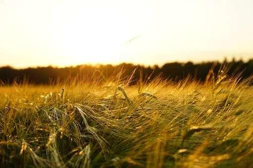 barley-1117282__340(1).jpg